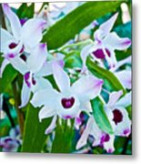 White And Purple Orchids In Greenhouse At Pilgrim Place In Claremont-california Metal Print