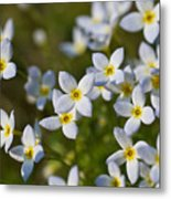 White And Yellow Blossoms Metal Print