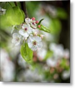 White Apple Flowers Metal Print