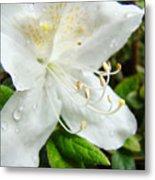 White Azalea Flower 9 Azaleas Raindrops Spring Art Prints Baslee Troutman Metal Print
