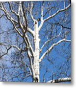 White Bark Metal Print