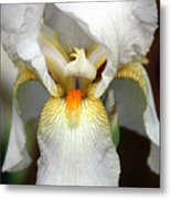 White Bearded Iris 2 Metal Print