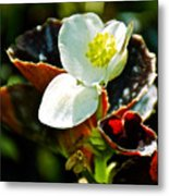 White Begonia At Pilgrim Place In Claremont-california  Metal Print