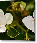 White Begonias At Pilgrim Place In Claremont-california Metal Print