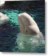 White Beluga Whale 1 Metal Print