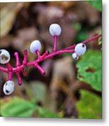 White Berries - Kettle Moraine 10-14-16 Metal Print