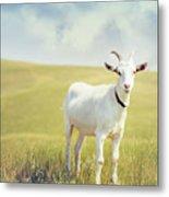 White Billy Goat Metal Print