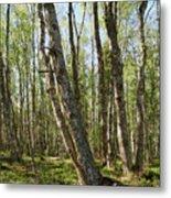 White Birch Forest Metal Print