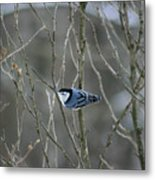 White Breasted Nuthatch 3 Metal Print