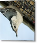 White Breasted Nuthatch At The Suet Feeder Metal Print