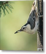 White-breasted Nuthatch Metal Print