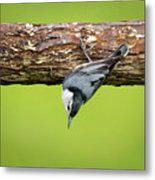 White-breasted Nuthatches Metal Print