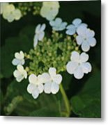 White Bridal Wreath Flowers Metal Print