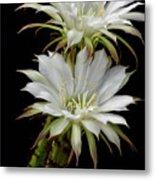 White Cactus Flowers Metal Print