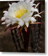 White Cactus Fower Metal Print