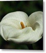 White Calla Lilly  Metal Print