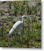 White Cattle Egret Metal Print