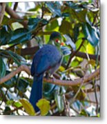 White-cheeked Turaco Metal Print