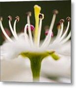 White Cherry Blossom Against Green Metal Print