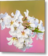 White Cherry Blossoms Against A Pink And Gold Background Metal Print