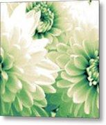 White Chrysanth Flowers Metal Print