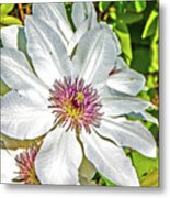 White Clematis Yellow And Purple Throat Metal Print