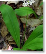 White Clintonia Metal Print