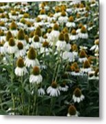 White Coneflower Field Metal Print