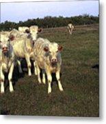 White Cows Metal Print