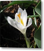 White Crocus Metal Print