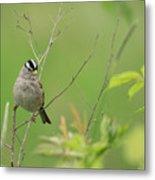 White Crown Sparrow Metal Print