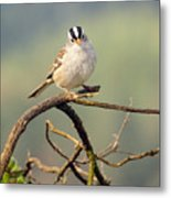 White Crowned Sparrow Metal Print by Laura Mountainspring