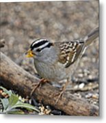 White Crowned Sparrow With Seeds Metal Print