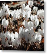 White Cyclamen Metal Print