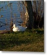 White Duck Resting Metal Print