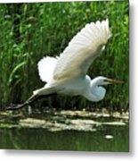 White Egret In Flight Metal Print