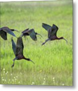 White-faced Ibis Rising, No. 2 Metal Print