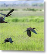 White-faced Ibis Rising, No. 3 Metal Print