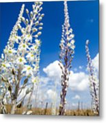 White Flowering Sea Squill On A Blue Sky Metal Print