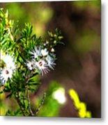 White Flowers Of Kunzea Ambigua Metal Print