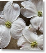 Dogwood White Flowers On Stones Metal Print