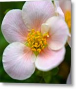 White Flowers With Pink And Yellow Metal Print