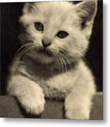 White Fluffy Kitten Metal Print