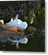 White Geese In A Park With Water Reflection Metal Print