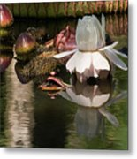 White Giant Water Lily Metal Print