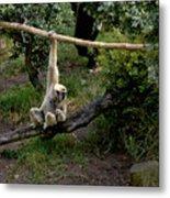 White Handed Gibbon 1 Metal Print