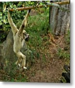 White Handed Gibbon 3 Metal Print