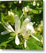 White Honeysuckle Blossoms Metal Print