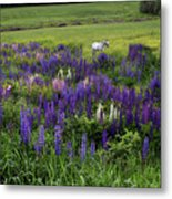 White Horse In A Lupine Field Metal Print