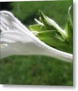White Hosta Flower 46 Metal Print